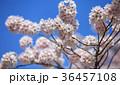 桜 サクラ 花の写真 36457108