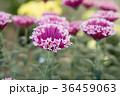 植物 菊 コメットエイミーの写真 36459063