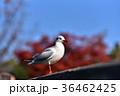 ユリカモメ カモメ 鳥の写真 36462425