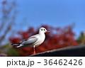 ユリカモメ カモメ 鳥の写真 36462426