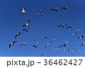ユリカモメ 鳥 水鳥の写真 36462427