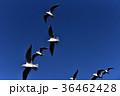 ユリカモメ 鳥 水鳥の写真 36462428
