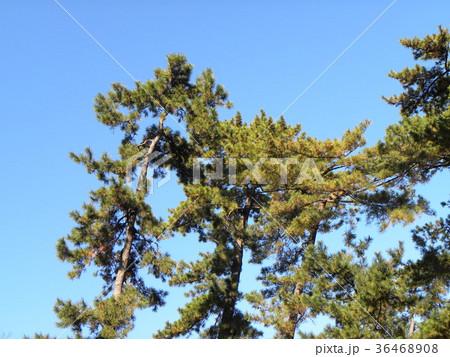 昔の稲毛海岸の松林の黒松 36468908