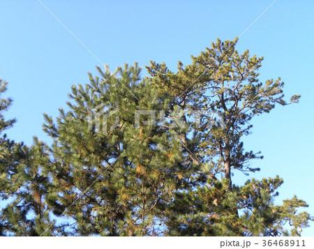 昔の稲毛海岸の松林の黒松 36468911
