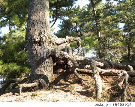 昔の稲毛海岸の松林の黒松の浮き根 36468914