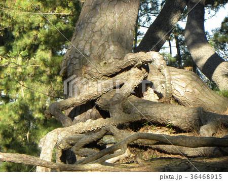 昔の稲毛海岸の松林の黒松の浮き根 36468915