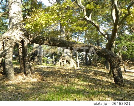 昔の稲毛海岸の松林の黒松の浮き根 36468921