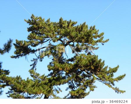 昔の稲毛海岸の松林の黒松 36469224
