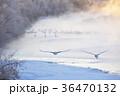タンチョウ ツル 飛翔の写真 36470132