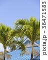 ハワイ ヤシ ヤシの木の写真 36471583