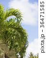 ハワイ ヤシ ヤシの木の写真 36471585