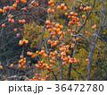 柿 果物 果実の写真 36472780