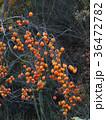 柿 果物 果実の写真 36472782