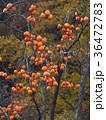柿 果物 果実の写真 36472783