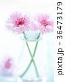やぐるまぎく 矢車菊 花の写真 36473179