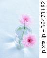 やぐるまぎく 矢車菊 花の写真 36473182