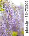 藤 花 藤の花の写真 36473309