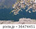 サクラ 花 ソメイヨシノの写真 36474451