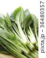小松菜 野菜 葉物野菜の写真 36480357