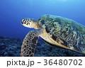 アオウミガメ 36480702