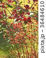 ウメモドキ 梅擬 植物の写真 36484610