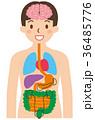 内臓 人体 ベクターのイラスト 36485776