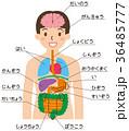 内臓 人体 一覧のイラスト 36485777