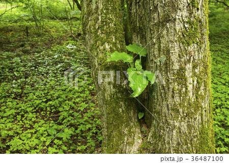 木の幹から生えるウバユリの葉 36487100