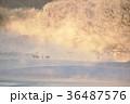 鶴 タンチョウ 霧の写真 36487576