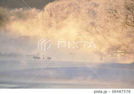 朝陽に染まる樹氷とタンチョウの群れ(北海道・鶴居) 36487576