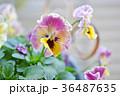 パンジー 花 花びらの写真 36487635