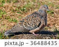 ハト キジバト 鳥の写真 36488435