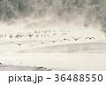 タンチョウ 飛翔 樹氷の写真 36488550