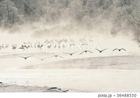 樹氷に囲まれたねぐらから飛び立つタンチョウ(北海道・鶴居) 36488550