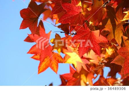 フウの紅葉 36489306