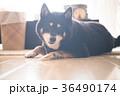 黒柴犬 犬 黒柴の写真 36490174
