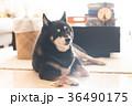 黒柴犬 犬 黒柴の写真 36490175