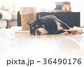 黒柴犬 犬 黒柴の写真 36490176