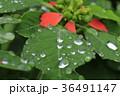 雨 水滴 サマーポインセチアの写真 36491147