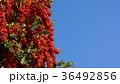 赤い実 沢山 青空  36492856