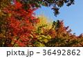 紅葉 風景 青空 36492862
