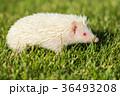 草 はりねずみ ハリネズミの写真 36493208
