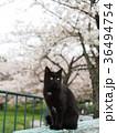 猫 野良猫 屋外の写真 36494754