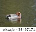 ヒドリガモ カモ 水鳥の写真 36497171