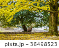 奈良公園 鹿 銀杏の写真 36498523