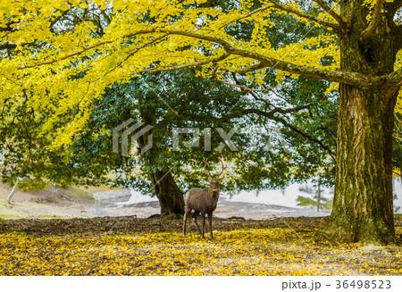 奈良公園:鹿と銀杏 36498523