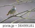 野鳥(囀るウグイス) 36499181