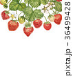 いちご イチゴ 苺のイラスト 36499428