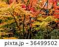 紅葉 京都 秋の写真 36499502
