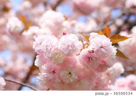 春色【桜】 36500534